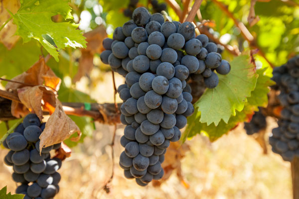 Produced from Montepulciano and Sangiovese grapes